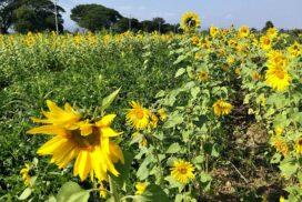 Gangaw grows sunflowers as winter crops