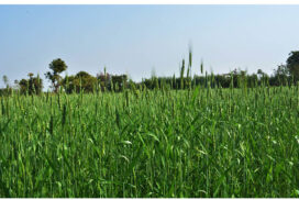 Over 76,000 acres of oats grown in seven districts of Sagaing