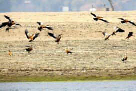 Over 300 golden ruddy shelducks migrate near Ayeyawady River in Magway