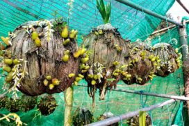 Myanmar orchids mainly sold online in Kyaukpyu