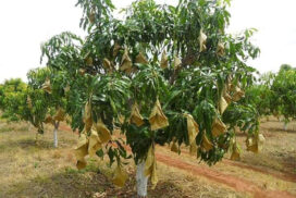 Mango plantations to be protected from fruit fly for export quality