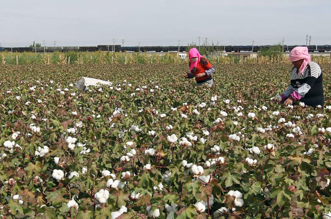 Cotton 1 0