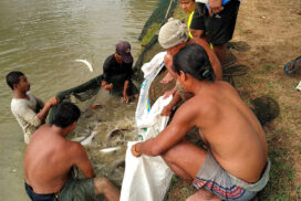 Thaton hatchery sends 1.3 mln fingerlings to licenced fish ponds during pandemic