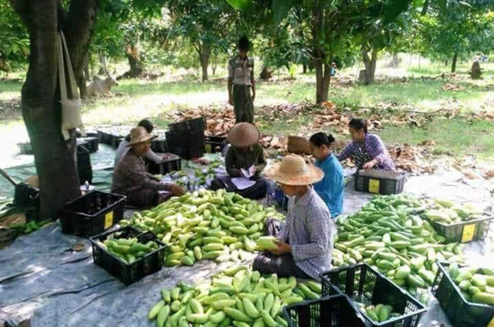 Labourers arranging mangoes in the farm. 0