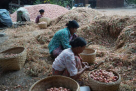 Onion growers face massive loss from lack of foreign demand