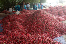 Myanmar exports 80 tonnes of  fresh chilli daily to Thailand