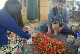 PyinOoLwin growers supply fresh strawberries to Mandalay market during harvest time