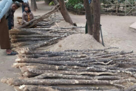 Thanaka trees selling well in Yesagyo Township