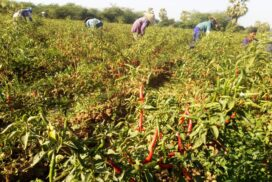 Manageable-scale chilli growers earn extra income in Pakokku