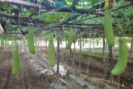Growers earn extra income from manageable bottle gourd cultivation