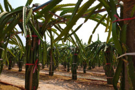 Farmers succeed in dragon fruit cultivation in Kyaukse