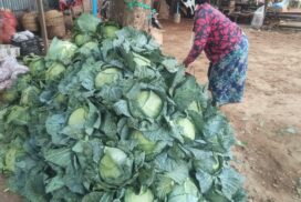Wuntho cabbage growers suffer from falling prices despite successful cultivation