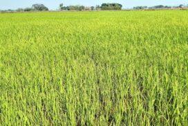 Thanlyin local farmers grow more summer paddy, edible oil crops