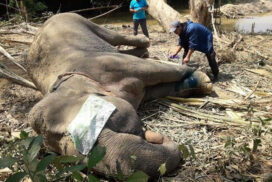 Trapped wild elephant released in Kawthoung