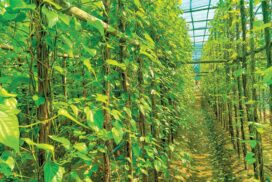 Betel leaf cultivation earns growers regular income in Ngaphe