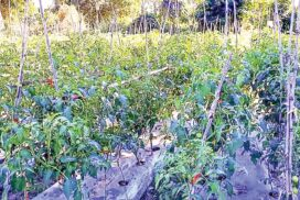 Tomato growers enjoy price hike in Pwintbyu