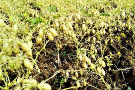 Pwintbyu chickpea growers anticipate good price in early harvest season