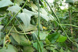 String bean growers enjoy fair price, bumper yield in Kyaukse