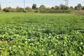 Mustard, other crops grown on manageable scale using underground water in Minbu Township