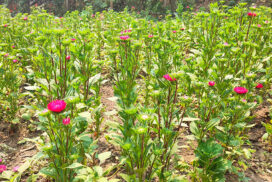 Maymyo flowers earn farmers good income in Mese