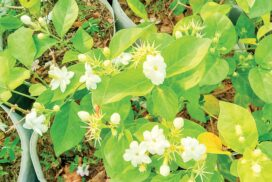 Jasmine sellers earn daily income in blooming season