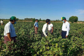 Sagaing Region sees less cotton production this year