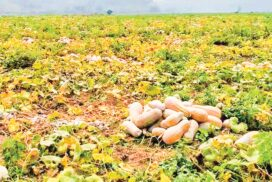 Farmers from Mongyang happy with golden pumpkin yield, prices this year