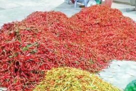 Chilli growers from Mong Yawng earning regular income
