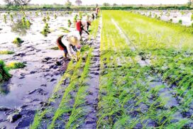 Farmers cultivate summer paddy initially in Pwintphyu