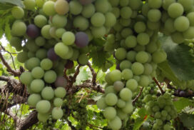 Italian grape variety yields successfully in Ngaphe Tsp