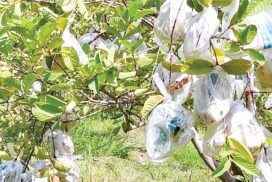 Kilo guava enhance family income in Kyaukse