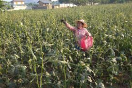 Farmers from Kyaukse grow okra for extra family income