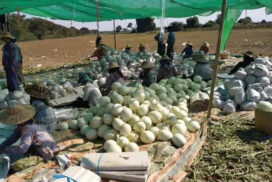 Growers in Sagaing frustrated over lower prices of melons