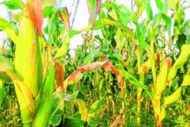Corn export tops $246.9 mln in five months
