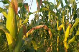 Revocation of withholding tax exemption on corn exports causes price downtrend