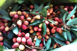 Lychee for sale in markets in Katha, Sagaing region