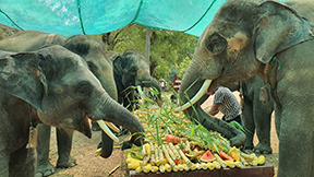 Elephant lovers provide foods online in Palin Kan Thayar elephant camp