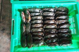 Kyaukpyu soft-shell crab penetrating foreign market