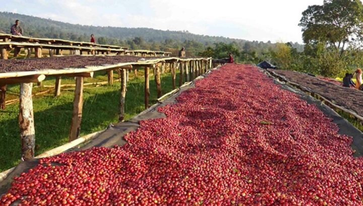 coffee beans are dried under the sun. sskm