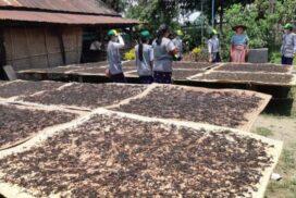 Homalin tea leaf plantations produce over 300 visses per acre