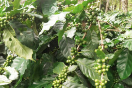 Over 1,000 acres of coffee farms in Ngaphe Township achieve successful harvest