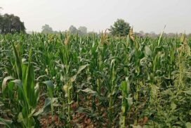 Corn price remains elevated in late cultivation season